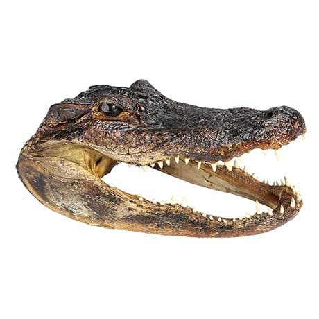 Real Alligator Head